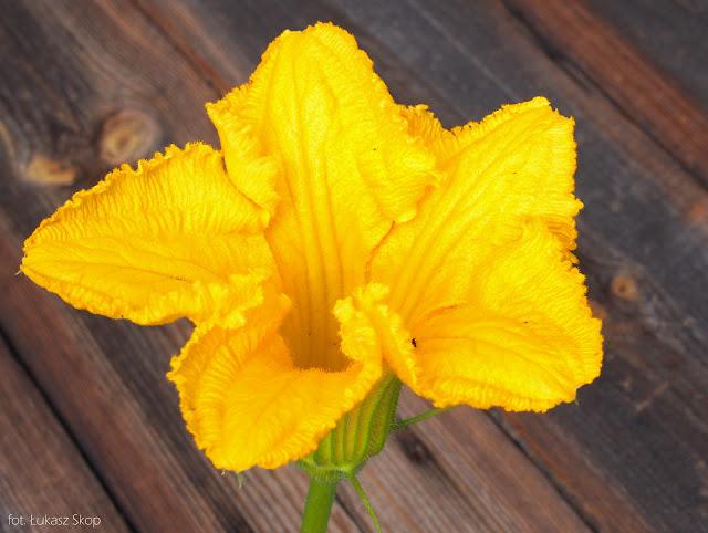 jadalne kwiaty cukinii