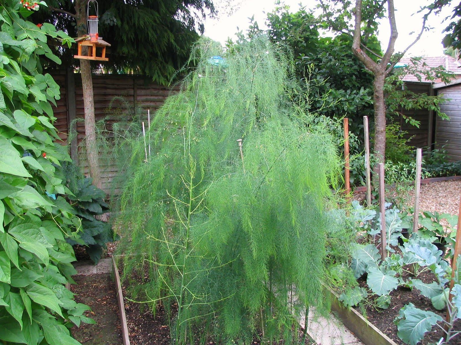 Mark's Veg Plot: The end of the Asparagus season Planting Asparagus In The Fall
