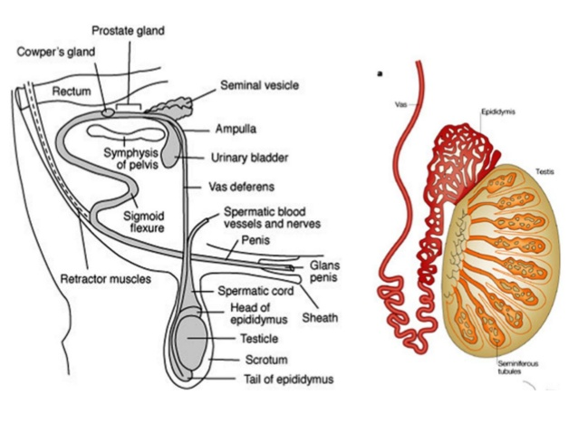 Penis fibrom Fibrom entfernen