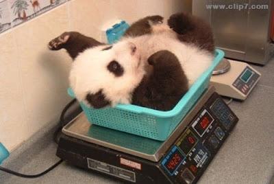 foto de oso panda en control medico: pesando a osito panda bebe