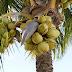 4 Jenis Penyakit Pohon Kelapa Dan Cara Penanggulangannya