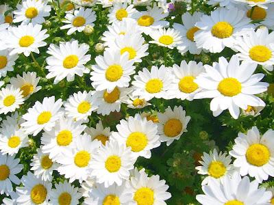 山田池公園の花壇 マーガレット