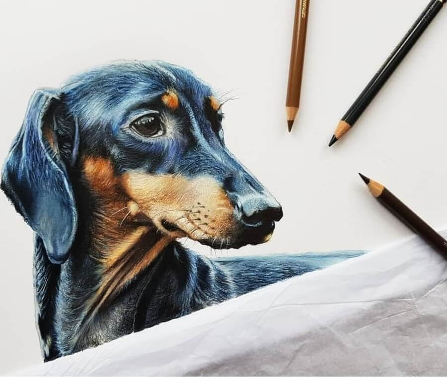 09-Dachshund-Tom-Strutton-Animal-Drawings-www-designstack-co