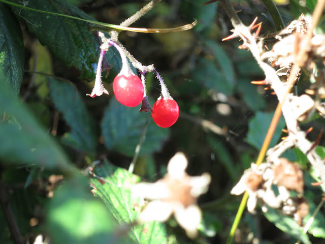 Two Woody Nightshade berries in an autumn bramble patch