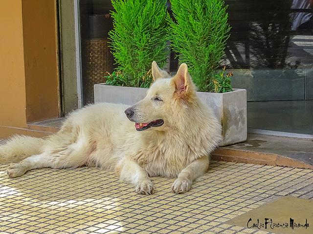 Gran perro blanco sentado a la sombra en un día de verano.