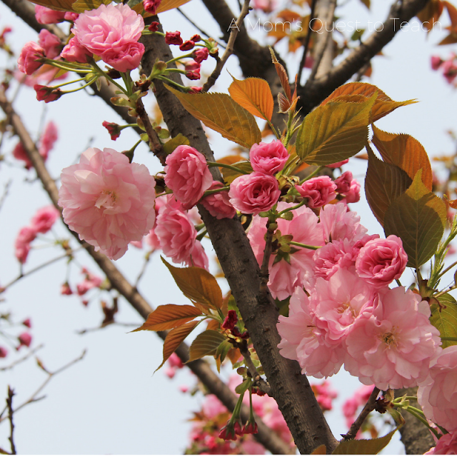 Cherry Blossom photo from Canva