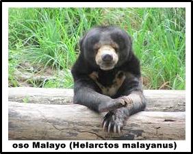 El oso Malayo (Helarctos malayanus)