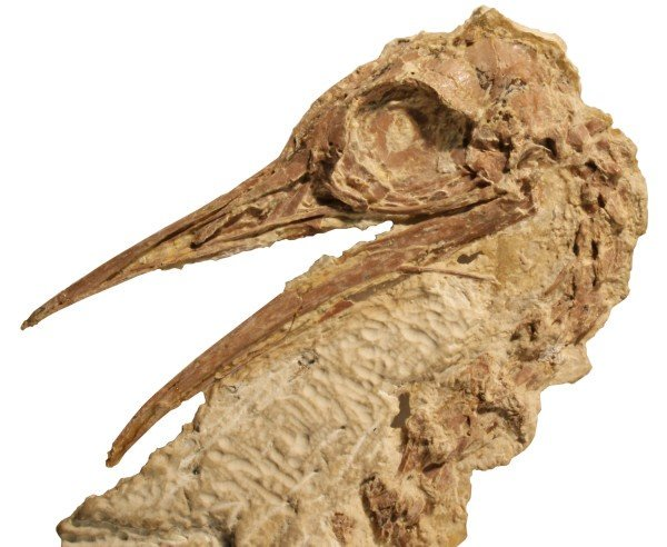 Ostrich relative lived in North America about 50 million years ago