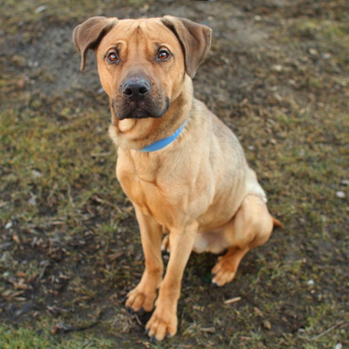 J.J. - German Shepherd Pit Bull Terrier mix