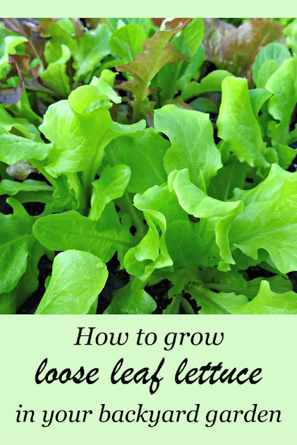 Loose leaf lettuce are easy to grow and can be harvested in about four weeks. Why grow just one variety? Create a signature blend of your favorites!  |  from Oak Hill Homestead