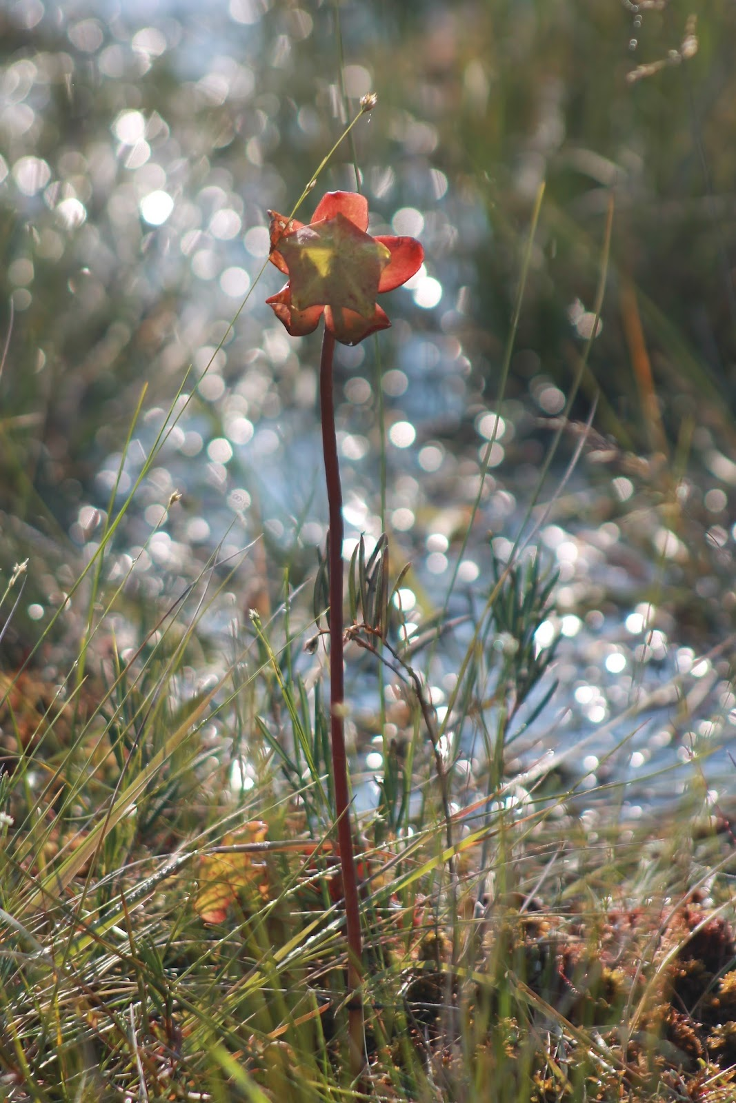 EXPLORING THE NIAGARA FRONTIER: The pitcher plant -- Western New ...