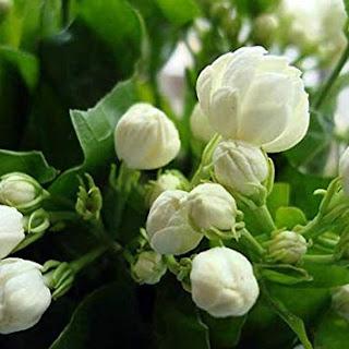 bunga-melati-lamongan22