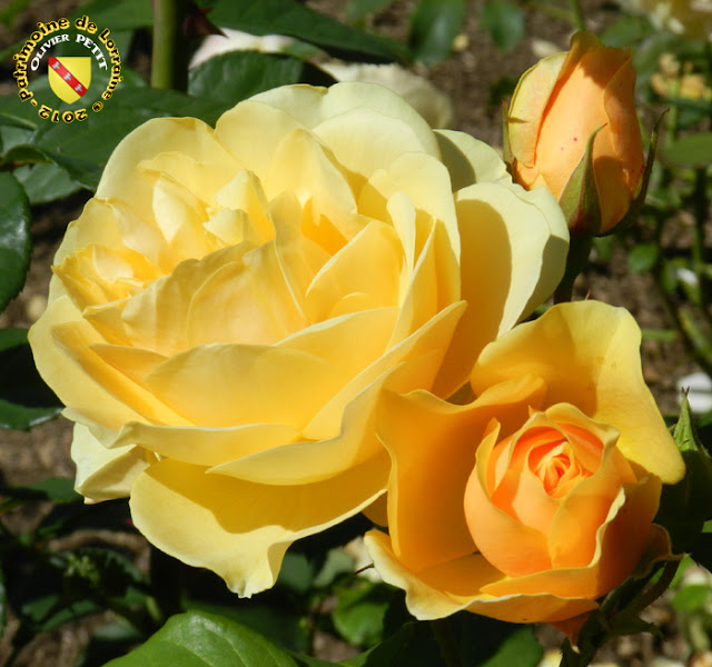 VILLERS-LES-NANCY (54) - La roseraie du Jardin botanique du Montet - Rose Graham Thomas