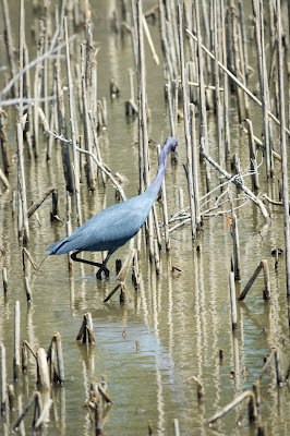 Little Blue Heron, Hagerman NWR