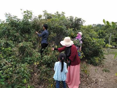 Alamat Kebun Lengkeng/kelengkeng Desa Penghujan Bintan