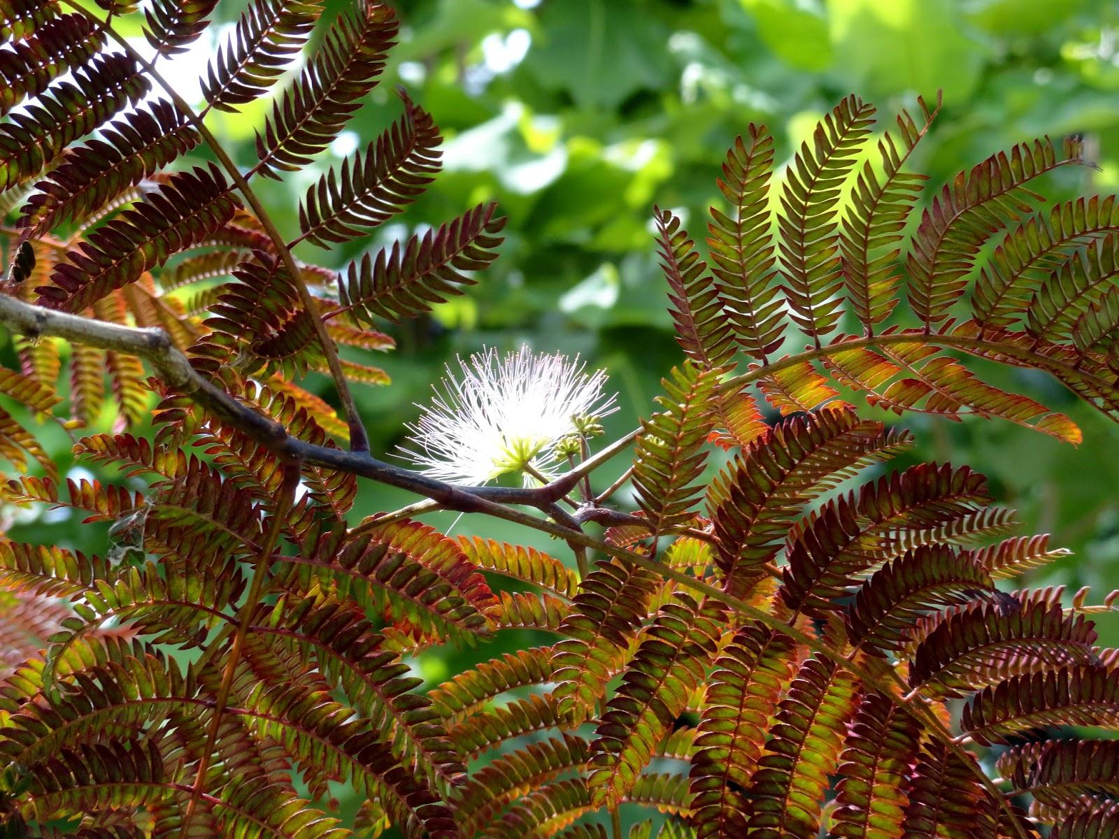danger garden: Albizia julibrissin \'Summer Chocolate\' – observations