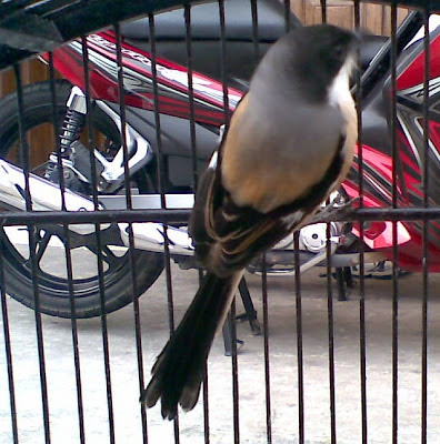 Keistimewaan Burung Cendet Kepala Hitam