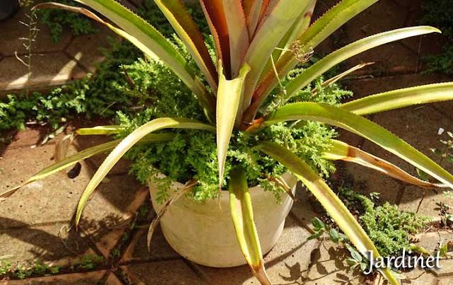 Revitalização do abacaxizeiro em vaso