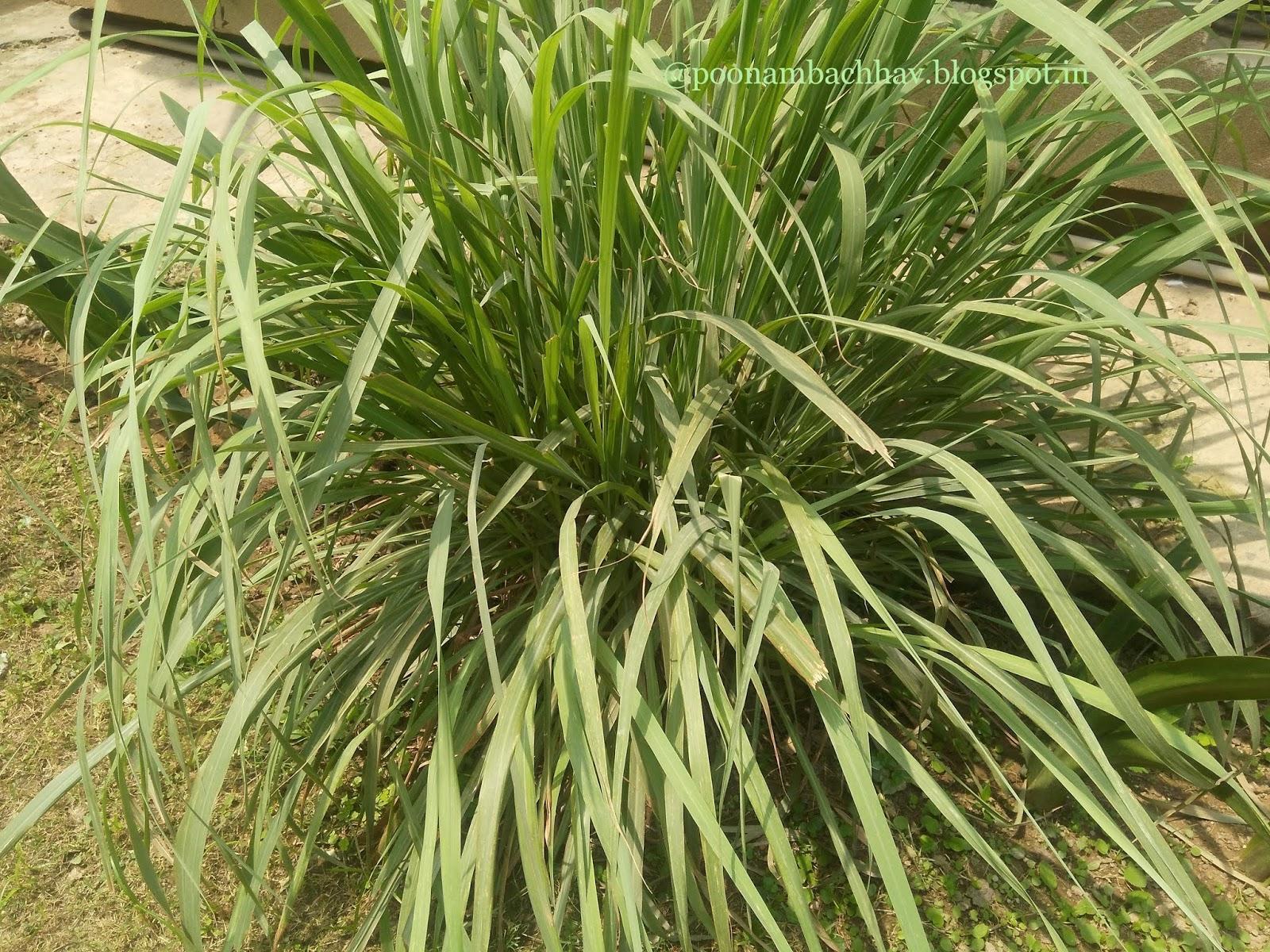 Annapurna Hibiscus Lemongrass Iced Green Tea