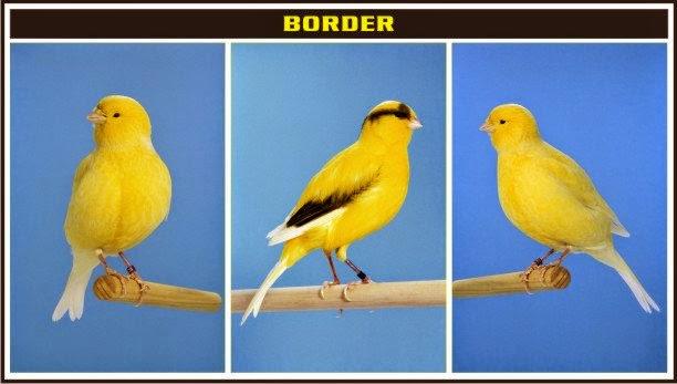 kenari border
