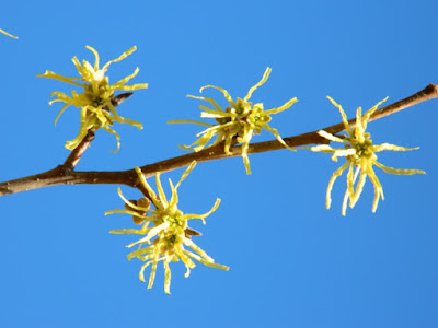 Hamamelis mollis Chinese witch hazel autumn flowers Toronto Botanical Garden by garden muses-not another Toronto gardening blog