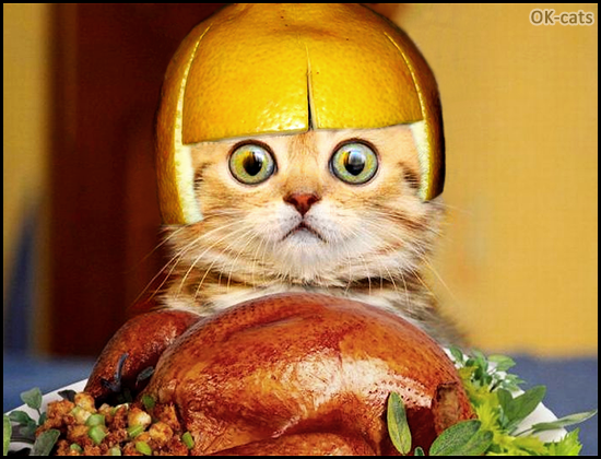 Photoshopped cat picture • Hilarious Kitten with grapefruit hat is hungry. DO want that roasted chicken