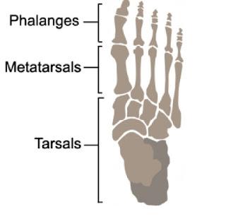 tulang kaki manusia