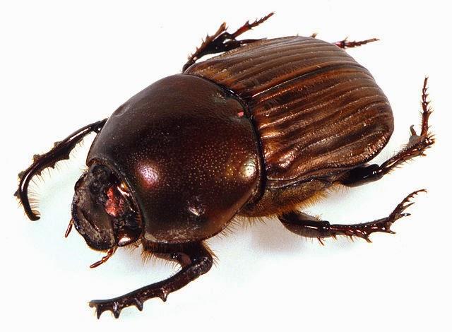 Dung beetle - Onitis aygulus