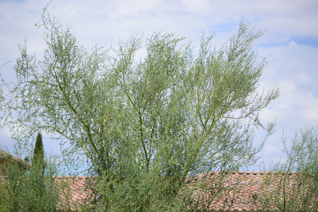 Parkinsonia florida, tree following meme