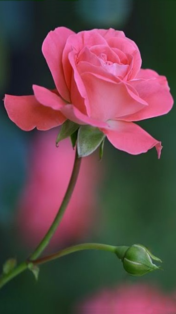 Rose mobile wallpaper - Rose flowers wallpaper for mobile ...