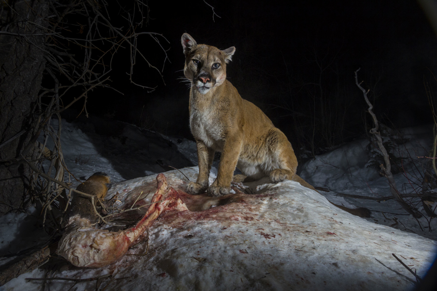 Wolves, Wolf Facts, Cougars, Cougar Facts, Coyotes, Coyote