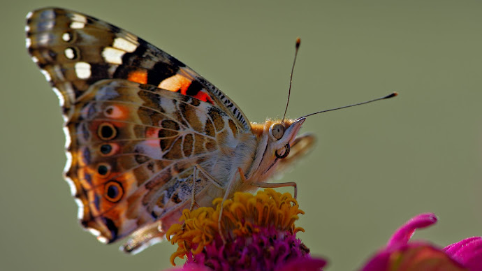 Wallpaper: Painted Lady Butterfly
