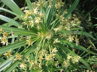 DWAN雲之端: 輪傘莎草--又名風車草,雨傘草,車輪草,傘葉莎草:輪傘沙草;學名:Cyperus alternifolius L.subsp ...