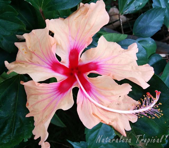 Variedad matizada con pétalos plegados de la flor de un Hibisco, género Hibiscus