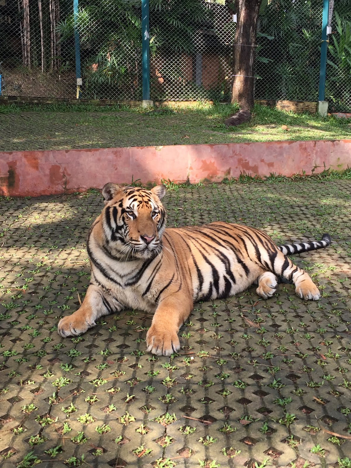 Tiger Kingdom in Chiang Mai, Thailand