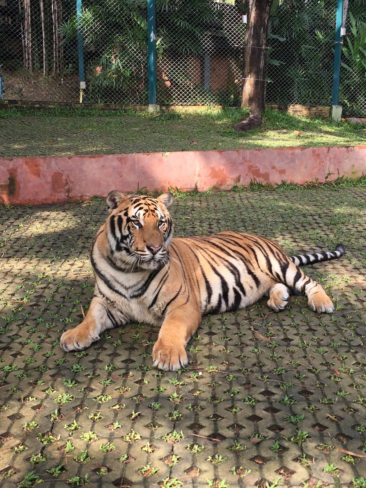 Tiger Kingdom in Chiang Mai, Thailand