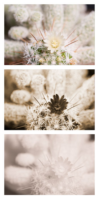 Comparison image of the flower of a small cactus (possibly a Mammillaria elongata cultivar) photographed in visible light (top), ultraviolet light (middle), and infrared light (bottom)