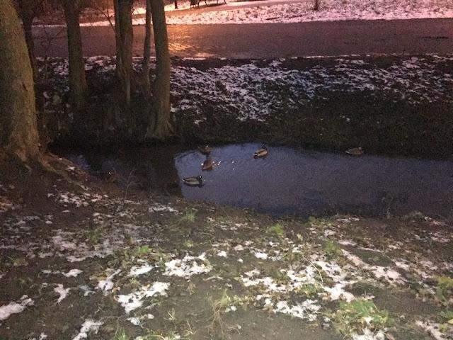 kaczki w Parku Kilońskim.