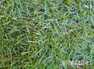 jenis-jenis-rumput-peking.jpg