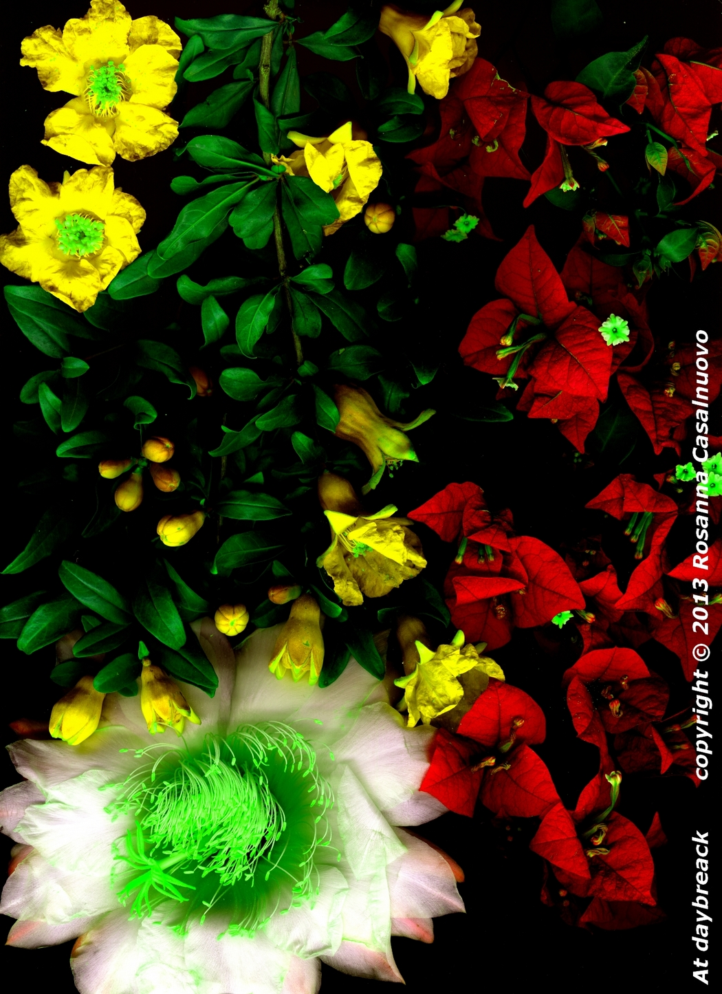 scannografia fiori bougainvillea melograno cactus manipolazione colori