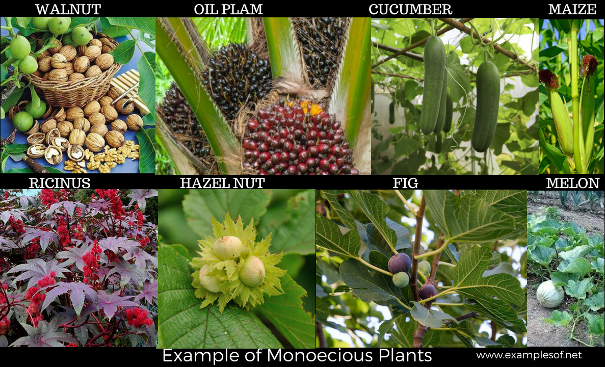 Example of Monoecious Plant