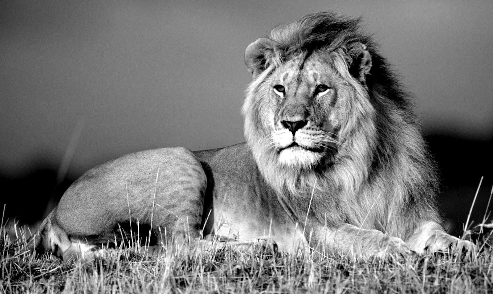 Jungle King Lion wallp...