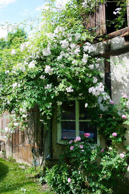 Rosen natürlich düngen, Pomponetti