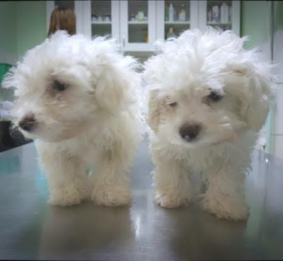 Vakcinacija pasa protiv štenećaka