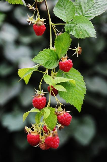 Best Ideas About Growing Plants Harvesting Raspberries