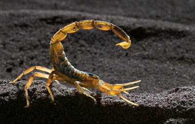 Deathstalker Most Dangerous Scorpion In The World | The ...