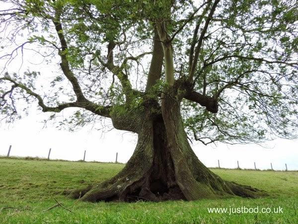 Wizard's Cape Tree