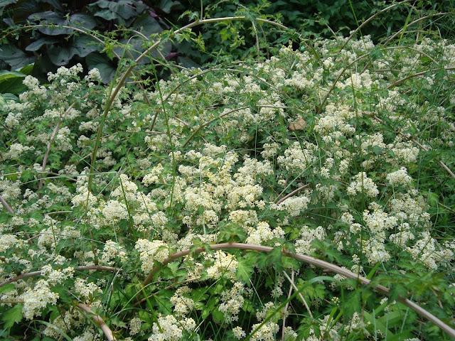 kwiaty tawulca pogiętego odmiana Crispa