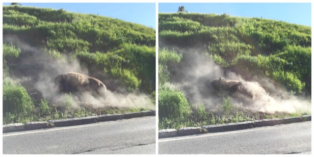 Bison or buffalo having dust bath