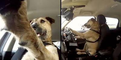 Unik Lima Hewan Ini Paling Jago Mengendarai Kendaraan